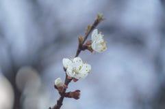 Okwitnięcie gałęziasty Sakura Obrazy Stock