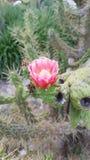 Okwitnięcie kaktusowy kwiat obraz royalty free
