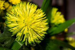 Okwitnięcie kolor żółty kwitnie w ciemnym tle Fotografia Stock