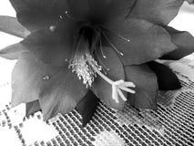 Okwitnięcie kwiat Artystyczny spojrzenie w czarny i biały Zdjęcia Stock