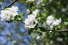 Okwitnięcie kwiaty, jabłoń Miodowy pszczoły zgromadzenia pollen i zapylać rośliny, Zdjęcia Stock