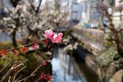 okwitnięcie kwitnie japońskiej śliwki wiosna Zdjęcia Stock