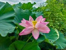 Okwitnięcie lotosowy kwiat w Japońskim stawie; ostrość na kwiacie Fotografia Royalty Free