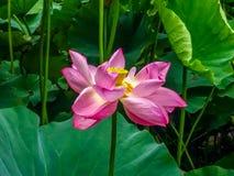Okwitnięcie lotosowy kwiat w Japońskim stawie; ostrość na kwiacie Zdjęcia Stock