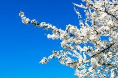 Okwitnięcie mirabelki śliwka na niebieskim niebie Fotografia Royalty Free