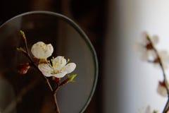 Okwitnięcie morela w szkło ramie z selekcyjnym skupiającym się tłem Fotografia Royalty Free