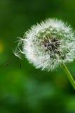 okwitnięcie okwitnięcia dandelion fotografia stock