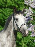 okwitnięcie portret popielaty koński lily pobliski ładny fotografia royalty free