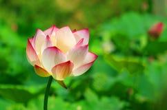 Okwitnięcie różowy lotosowy kwiat Fotografia Royalty Free