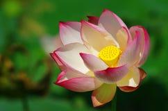 Okwitnięcie różowy lotosowy kwiat Zdjęcia Stock
