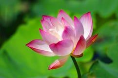 Okwitnięcie różowy lotosowy kwiat Zdjęcia Royalty Free