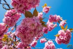 Okwitnięcie różowy Sakura kwitnie na czereśniowej gałąź w wiośnie makro- zako?czenie up strzela? zdjęcie stock
