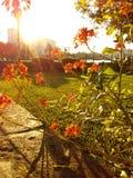 Okwitnięcie ranku słońce zdjęcie royalty free