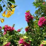 Okwitnięcie starszej osoby żółty kwiat i menchii bougainvillea Zdjęcia Royalty Free