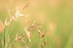 Okwitnięcie trawy plama przeciw zielonemu tłu z miękkiej ostrości minymi kwiatami w ogrodowym tle zdjęcie stock