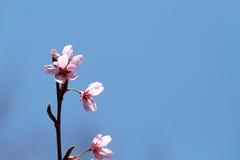 okwitnięcie wiśnia Zdjęcie Stock