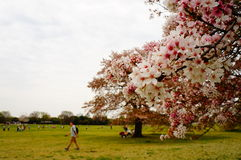 okwitnięcie wiśnia Japan Zdjęcie Stock