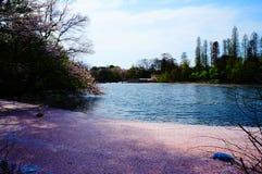 okwitnięcie wiśnia Japan Zdjęcia Royalty Free
