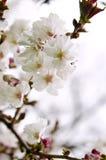 okwitnięcie wiśnia Oriental Zdjęcia Royalty Free