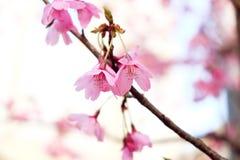 okwitnięcie wiśnia Sakura zdjęcie stock