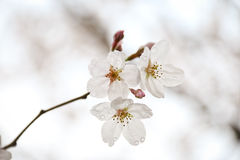 okwitnięcie wiśnia Sakura Zdjęcia Royalty Free