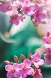 okwitnięcie wiosna świeża różowa Zdjęcie Royalty Free