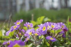 Okwitnięcie wiosna kwiaty - Primula juliae Wiosny zbliżenia kwiecisty krajobraz, naturalny kwiecisty tło Zdjęcia Stock