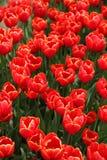 okwitnięcia czerwieni tulipan Zdjęcie Stock