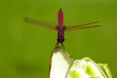 okwitnięcia dragonfly Zdjęcia Royalty Free