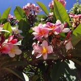 Okwitnięcia Frangipani menchii egzotyczny plumeria Obraz Stock