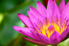 okwitnięcia kwiatu lotosowy staw Obraz Stock
