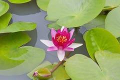 okwitnięcia kwiatu lotosu menchie Obrazy Stock