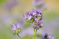 Okwitnięcia phacelia kwiaty Fotografia Stock