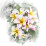 Okwitnięcia plumeria kwiat Obrazy Royalty Free