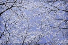 Okwitnięcia Sakura kwiat na drzewie pod zimy niebem Zdjęcia Stock