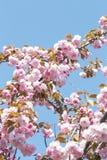 okwitni?cie czere?niowy japo?ski Sakura zdjęcia stock