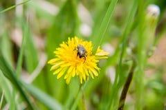 Okwitnięcie dozownik Epicometis Hirta na dandelion kwiacie Fotografia Stock