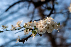 Okwitnięcie drzewo Obrazy Royalty Free