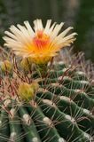 okwitnięcie kaktus Obrazy Royalty Free