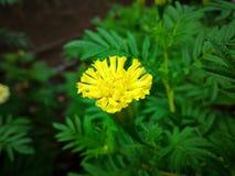 Okwitnięcie kwiat Obraz Royalty Free