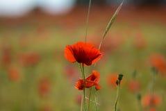 Okwitnięcie Makowy kwiat Fotografia Stock
