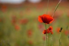 Okwitnięcie Makowy kwiat Zdjęcie Stock