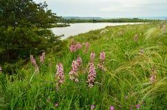 Okwitnięcie trawa Zdjęcie Royalty Free