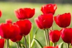 Okwitnięcie tulipan Obraz Stock