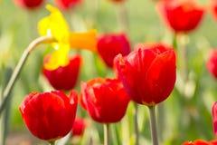 Okwitnięcie tulipan Zdjęcie Royalty Free