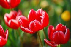 okwitnięcie tulipany ogrodowi czerwoni Obrazy Stock