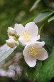 okwitnięcie wiosna Fotografia Stock