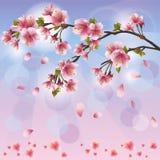 okwitnięcia czereśniowy japoński Sakura drzewo Fotografia Royalty Free