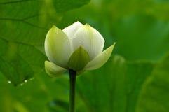 Okwitnięcie biały lotosowy kwiat Zdjęcie Stock