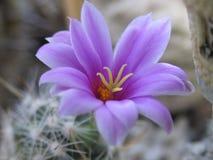 okwitnięcie kaktus Obraz Royalty Free